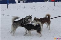 Куликово поле. Гонки на собачьих упряжках., Фото: 138