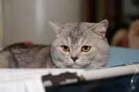 Выставка кошек в Туле, Фото: 5