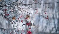 Дрозды-рябинники в Туле, Фото: 36