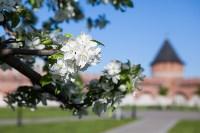 Яблони у кремля, Фото: 1