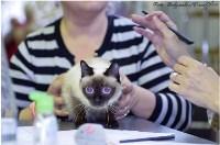 Кошки породы Скиф-той-боб, Фото: 5