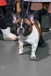 Выставка собак в Туле 26.01, Фото: 25