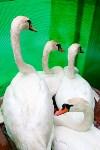 Запуск лебедей в верхний пруд Центрального парка Тулы, Фото: 6