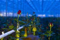 Миллион разных роз: как устроена цветочная теплица, Фото: 18