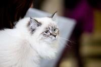 Выставка кошек. 4 и 5 апреля 2015 года в ГКЗ., Фото: 11