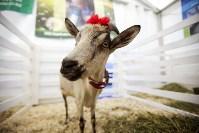 Выставка коз в Туле, Фото: 5