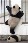 Как панды хотели сбежать из зоопарка, Фото: 3