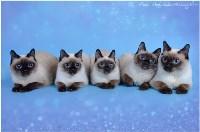 Кошки породы Скиф-той-боб, Фото: 12