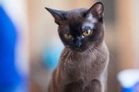 Международная выставка кошек. 16-17 апреля 2016 года, Фото: 87