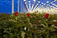 Миллион разных роз: как устроена цветочная теплица, Фото: 22