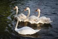 Запуск лебедей в верхний пруд Центрального парка Тулы, Фото: 26