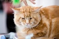 Выставка кошек. 4 и 5 апреля 2015 года в ГКЗ., Фото: 125