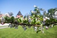 Яблони у кремля, Фото: 4
