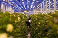 Миллион разных роз: как устроена цветочная теплица, Фото: 6