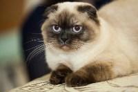 Международная выставка кошек. 16-17 апреля 2016 года, Фото: 17