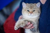 Международная выставка кошек. 16-17 апреля 2016 года, Фото: 26