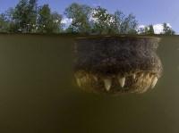Аллигатор в мутной воде, Биг-Сайпресс, штат Флорида. Doug Perrine, Nature Picture Library/Corbis, Фото: 2