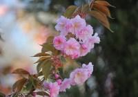 Тульская сакура зацвела в Керчи, Фото: 2