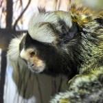 У мармозеток в Тульском экзотариуме родился малыш, Фото: 4
