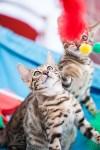 """Выставка """"Пряничные кошки"""". 15-16 августа 2015 года., Фото: 38"""