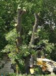 вырубка деревьев во дворе дома №33 по ул. Горького в Туле, Фото: 15