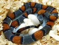 Кладки ужеобразных змей, 05.05.2016, Фото: 9