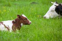 Коровы, свиньи и горы навоза в деревне Кукуй: Роспотреб требует запрета деятельности токсичной фермы, Фото: 16