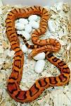 Кладки ужеобразных змей, 05.05.2016, Фото: 6