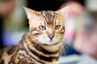 Выставка кошек. 4 и 5 апреля 2015 года в ГКЗ., Фото: 75