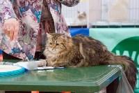 Выставка кошек в Туле, Фото: 82