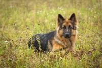 Международная выставка собак, Барсучок. 5.09.2015, Фото: 4