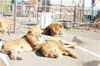 Цирк огромных зверей. Тула, Осиновая гора, 1, Фото: 13