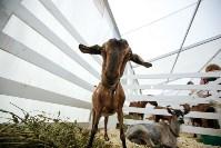 Выставка коз в Туле, Фото: 10