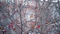 Дрозды-рябинники в Туле, Фото: 22
