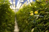 Миллион разных роз: как устроена цветочная теплица, Фото: 23
