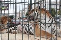 Тигры в городе!, Фото: 2