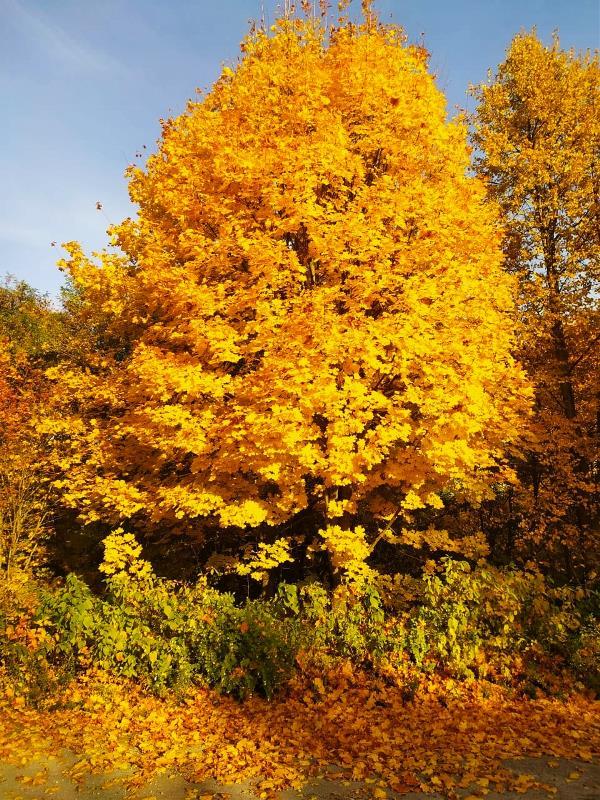 Осень богата золотыми красками)