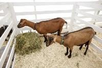 Выставка коз в Туле, Фото: 15