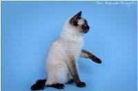 Кошки породы Скиф-той-боб, Фото: 13