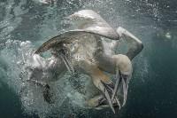 «Соревнование». Когда один баклан видит добычу, за неё начинают соревноваться ещё несколько десятков птиц одновременно. Фото Richard Shucksmith, UPY 2017, Фото: 10