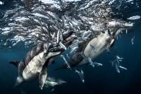 «Дельфины охотятся». Фото Greg Lecoeur, UPY 2017, Фото: 19