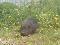 Кабан в Ясногорске, Фото: 1
