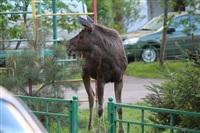Лось во дворе дома №45 по ул. Плеханова, Фото: 28