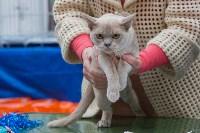 Выставка кошек в Туле, Фото: 47