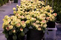 Миллион разных роз: как устроена цветочная теплица, Фото: 11
