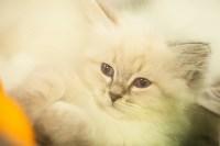 """Выставка """"Пряничные кошки"""". 15-16 августа 2015 года., Фото: 77"""