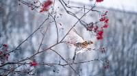 Дрозды-рябинники в Туле, Фото: 45