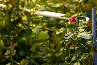Миллион разных роз: как устроена цветочная теплица, Фото: 20