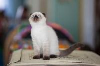 Международная выставка кошек. 16-17 апреля 2016 года, Фото: 76