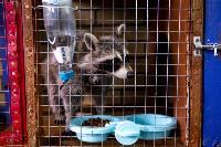 Тульское Шоу ручных енотов: «Из-за карантина нам нужна помощь туляков», Фото: 30
